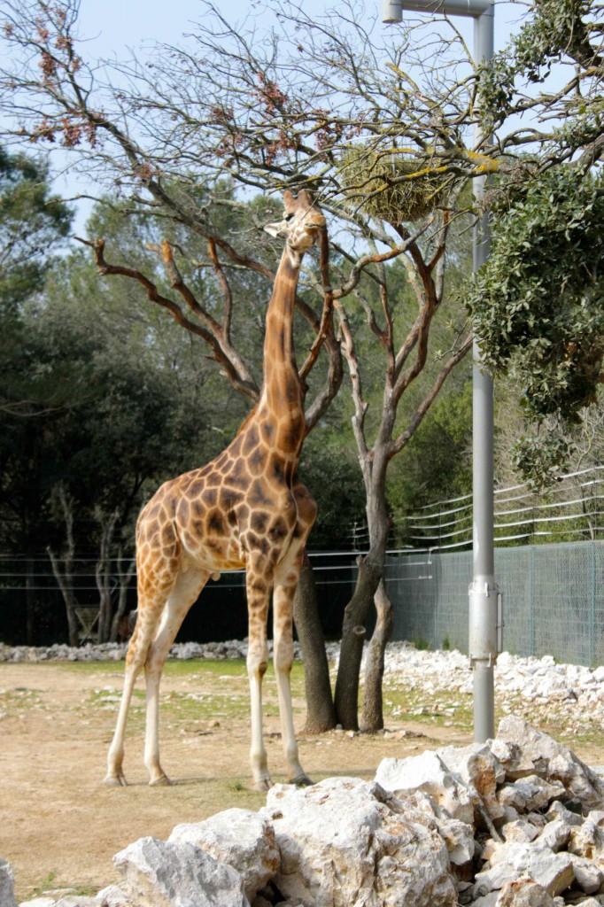 girafe07