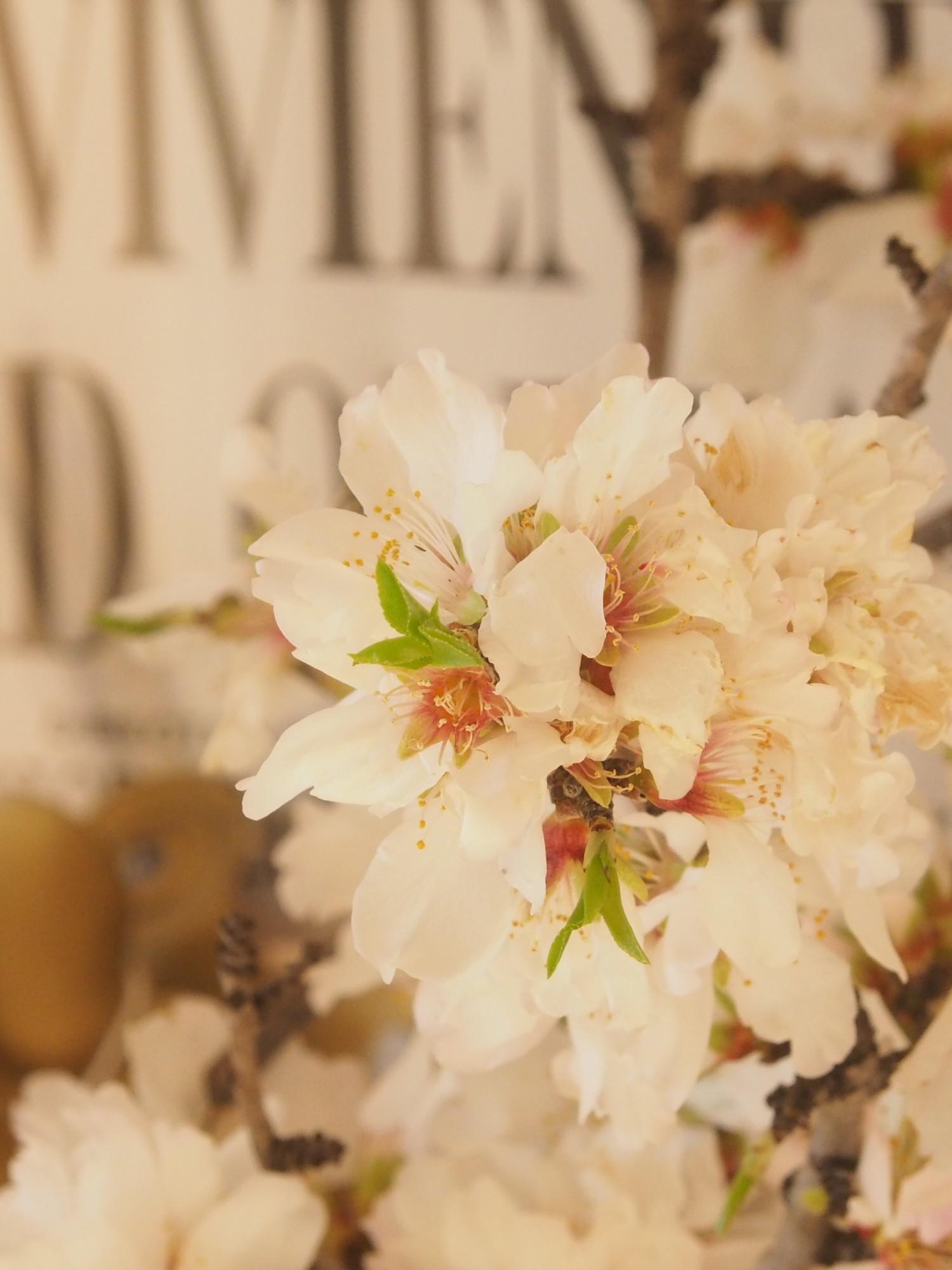 Les fleurs de MON amandier d'enfance